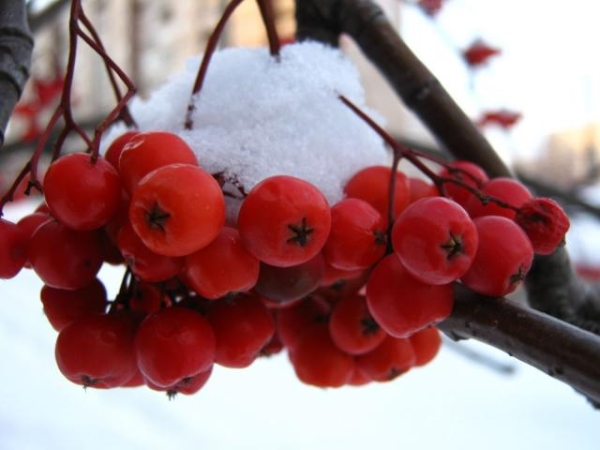 рябина красная кора полезные свойства и противопоказания