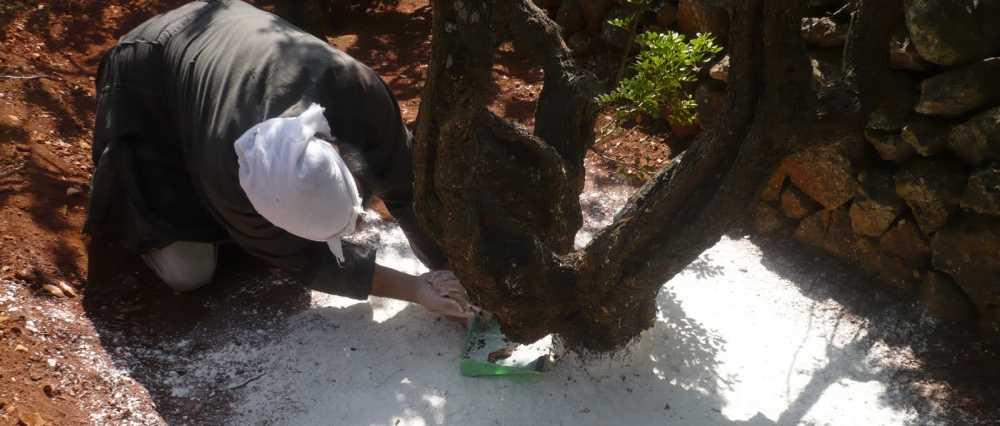 смола мастикового дерева полезные свойства и особенности