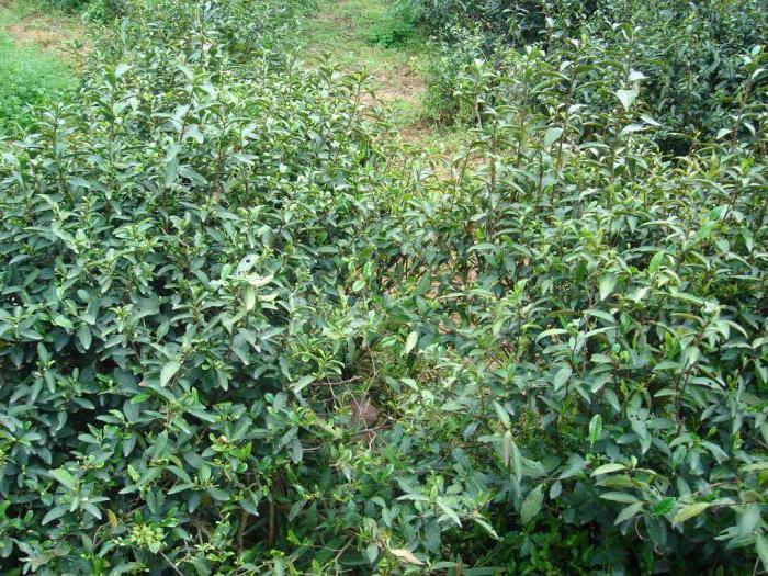 зеленый чай ганпаудер польза и вред