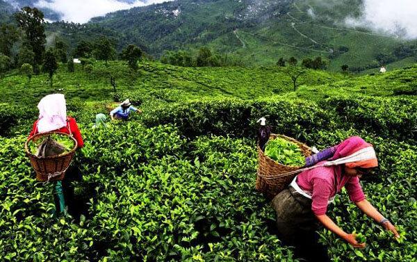 зеленый чай польза и вред давление