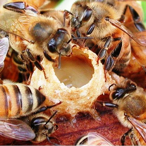 аккураевый мед с маточным молочком полезные свойства