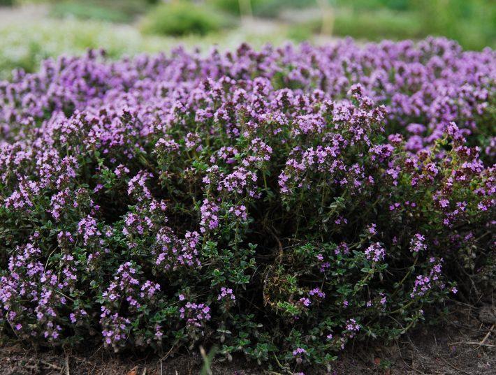 чайный напиток чабрец соцветия высший сорт полезные свойства