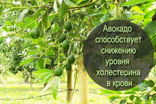 сколько калорий в авокадо и чем оно полезно