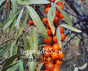 для чего полезны листья и стебли облепихи