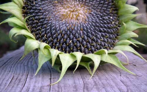 для чего полезны семечки подсолнуха жареные для женщин