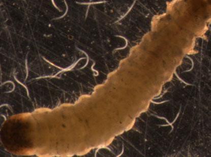 хищная нематода немабакт вред и польза на картофеле