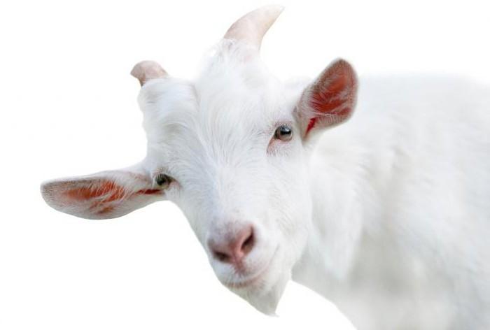 кипяченое козье молоко польза и вред