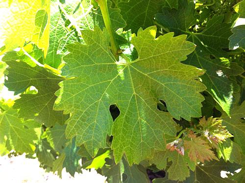 листья винограда польза и вред для организма