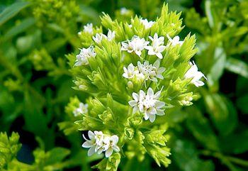 стевия медовая трава применение польза и вред