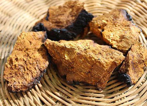 чага березовый гриб полезные свойства и применение чаги при кистах