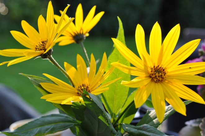 чай из цветков топинамбура польза и вред