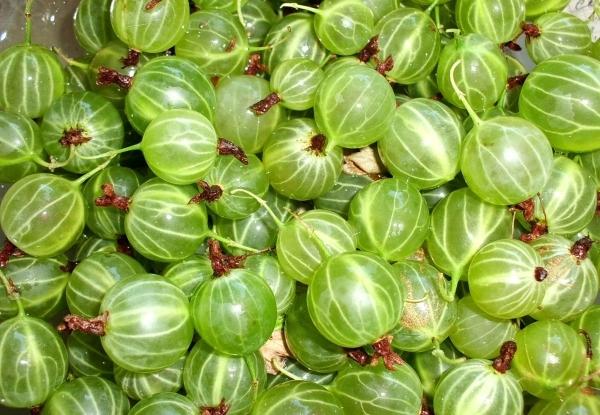 чай из листьев крыжовника полезные свойства и противопоказания