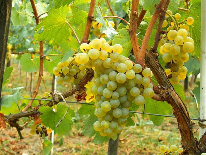 чем полезен черный виноград для организма человека