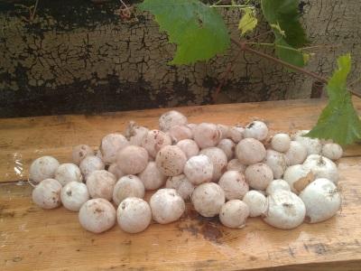 чем полезен гриб веселка и его свойства