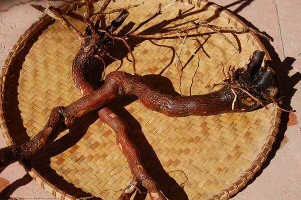чем полезен красный корень для женщин лечебные свойства