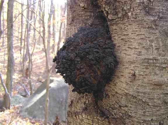 гриб на березе чага полезные свойства и противопоказания