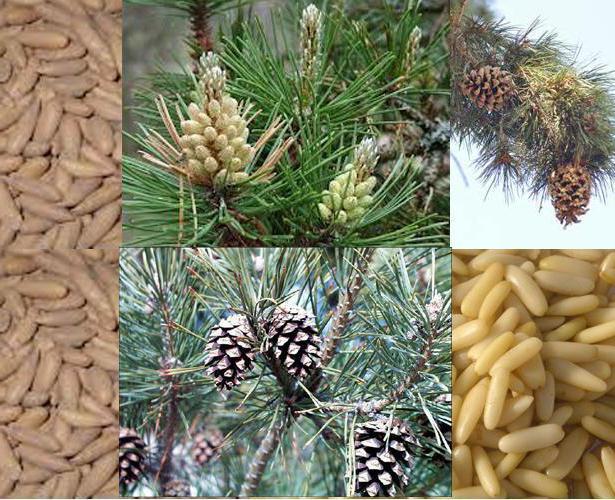кедровый орех полезные свойства и противопоказания для мужчин