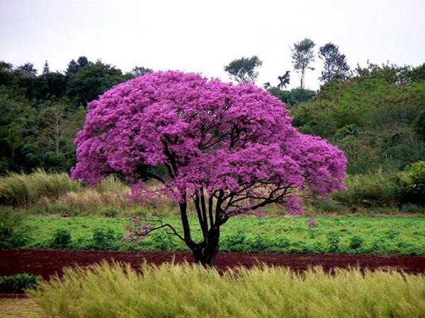 кора муравьиного дерева польза и вред