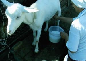 козье молоко полезные свойства и противопоказания для детей