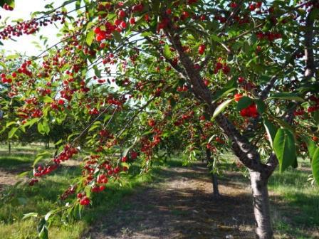 листья вишни польза и вред для здоровья