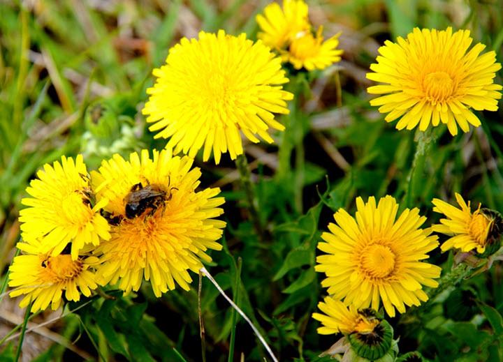 мать и мачеха трава польза и вред