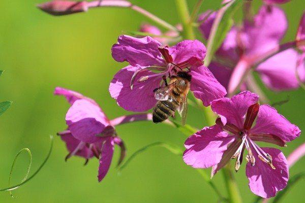 мед из иван чая полезные свойства и противопоказания