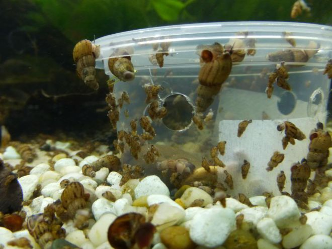 мелании в аквариуме польза или вред
