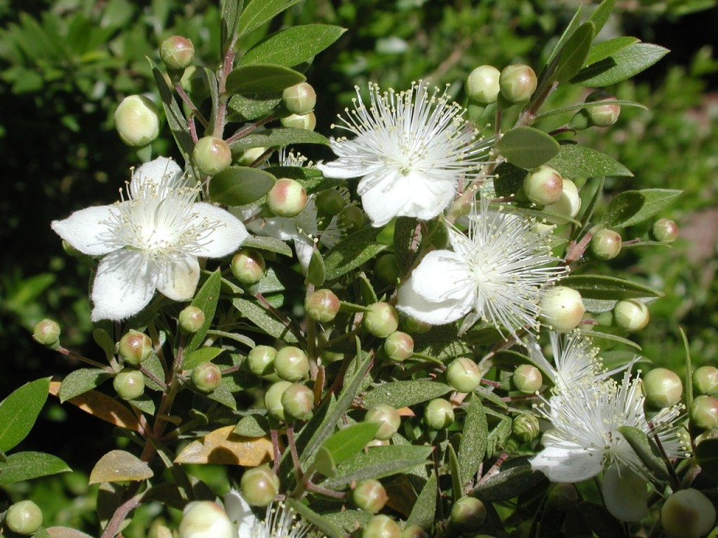 мирт обыкновенный цветок польза и вред