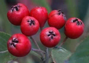 настойка из красной рябины на водке полезные свойства и противопоказания
