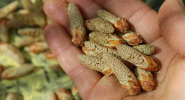 новая эра пыльца сосны полезные свойства и противопоказания