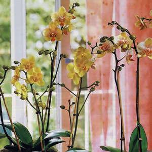 орхидея польза и вред для здоровья