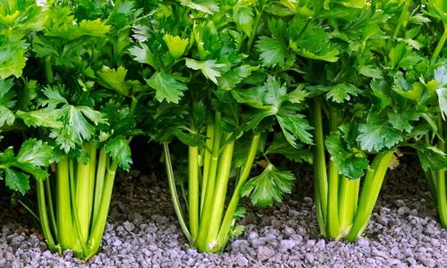 польза и вред листового сельдерея для пожилых