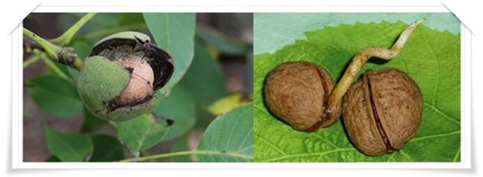 пророщенный грецкий орех польза и вред