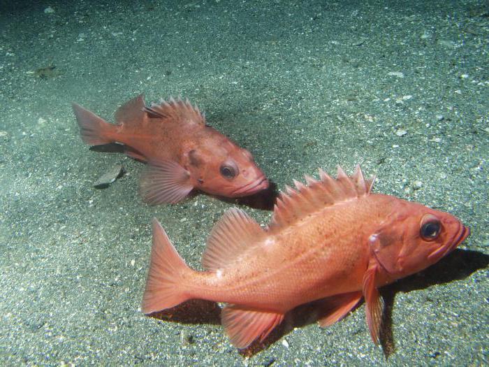рыба окунь морской польза и вред