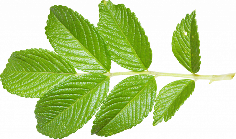 ветки малины полезные свойства и противопоказания для женщин