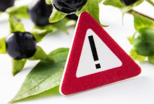 ягода черный паслен польза и вред