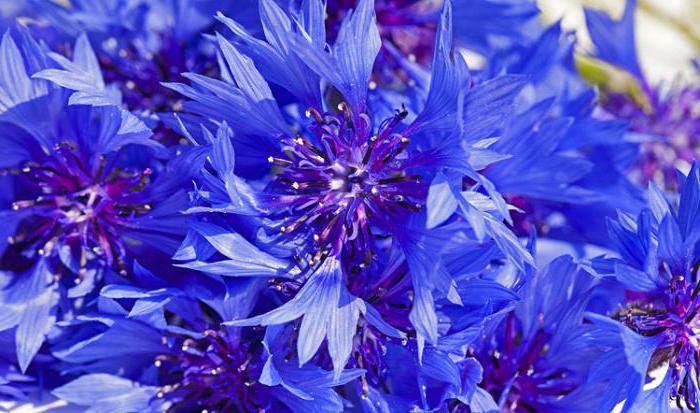 цвет василька синего полезные свойства и противопоказания