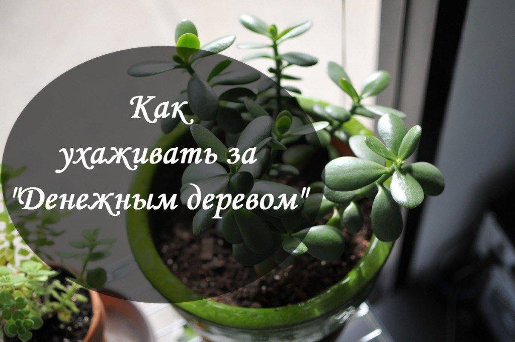 цветок толстянка или денежное дерево полезные свойства уход