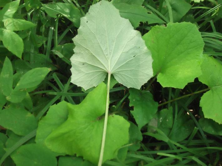 мать и мачехи листья полезные свойства и противопоказания