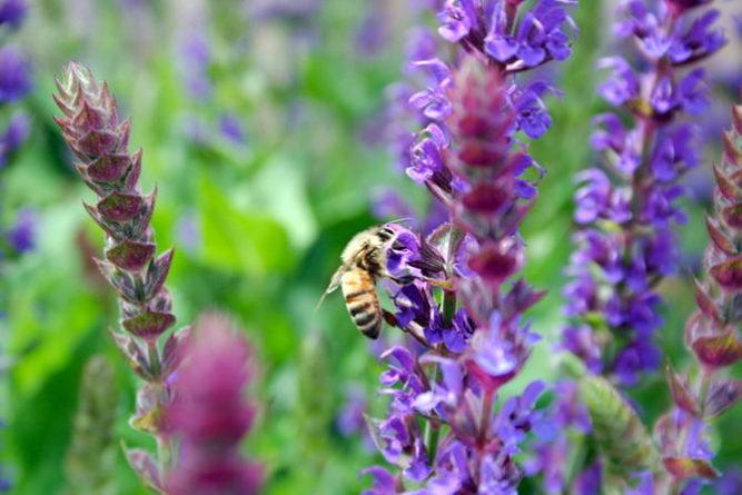 мед из шалфея полезные свойства и противопоказания