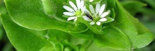 мокрец трава полезные свойства при кисте почек