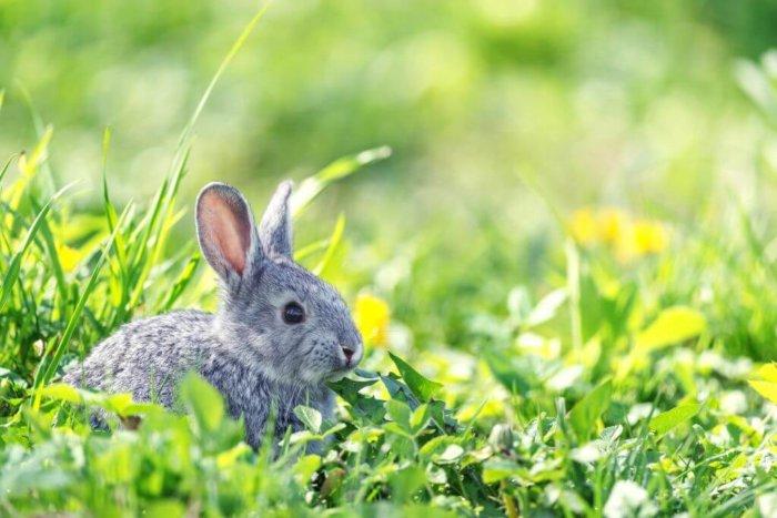 пижма для кроликов польза и вред