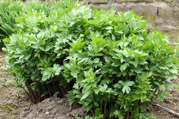 растение любисток и его полезные свойства для мужчин