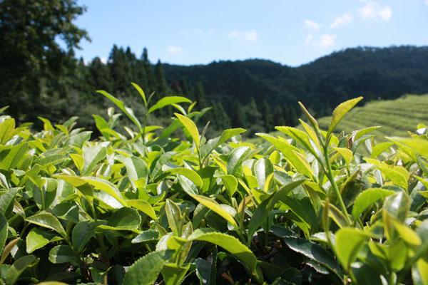 байховый зеленый чай польза и вред