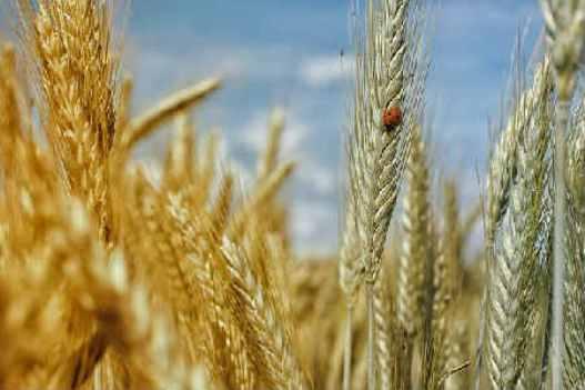 чем полезна для женщин пророщенная пшеница для