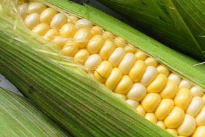 чем полезна кукуруза для организма в початках