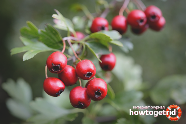 чем полезны ягоды боярышника для организма человека