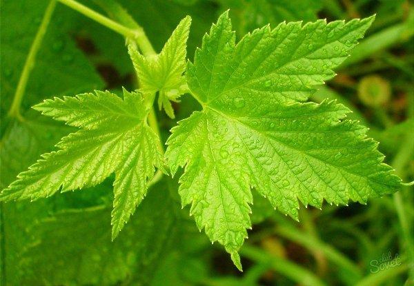 листья черной смородины полезные свойства и противопоказания для женщин