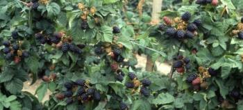 листья ежевики полезные свойства и противопоказания для женщин