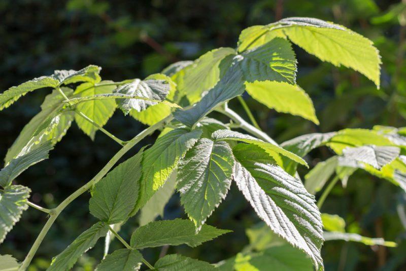 листья и стебли малины полезные свойства и противопоказания